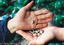 Οι παραδοσιακοί σπόροι υπό διωγμό