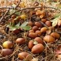 acorn cover