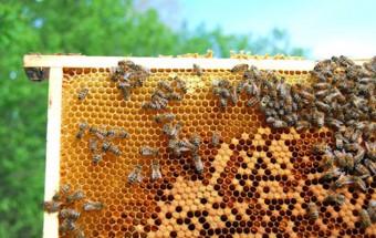 μελισσοκομία_Νηστικό-Αρκούδι